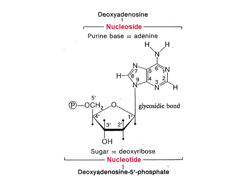 [structure of deoxyadenosine]